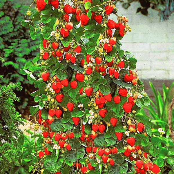 jusqu'à 76% 5 à 40 fraisier mount everest | groupon