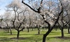 Amandier à fleurs Prunus Triloba