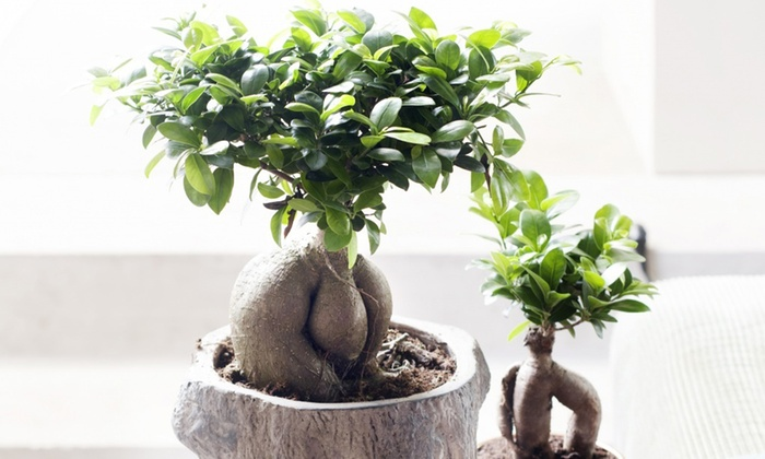ficus ginseng bonsai trees groupon goods. Black Bedroom Furniture Sets. Home Design Ideas