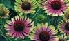 Echinacea Green Twister Plants