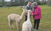 Choice of Alpaca Adoption Package at Charnwood Forest Alpacas (55% Off)