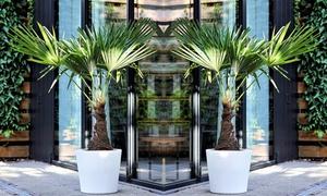 2 ou 4 palmiers de Chine 40-60 cm