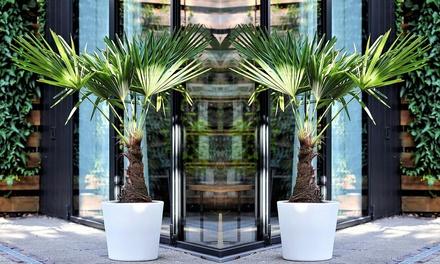 2 ou 4 Palmiers de Chine 35-50cm