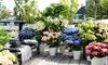 Set de 3 ou 6 hortensias 20-35 cm