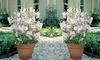 Plantes Lavatera Barnsley Baby