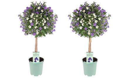 1 ou 2 lots de 2 arbres de patios Solanum Twins