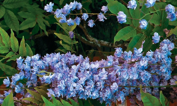 Up To 28 Off On Blue Moon Reblooming Wisteria Groupon Goods