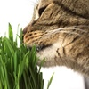 Cat Lovers Catnip Cat Grass (2-Pack)