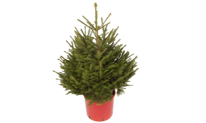 Up To 48 Off Pot Grown Living Christmas Tree Groupon