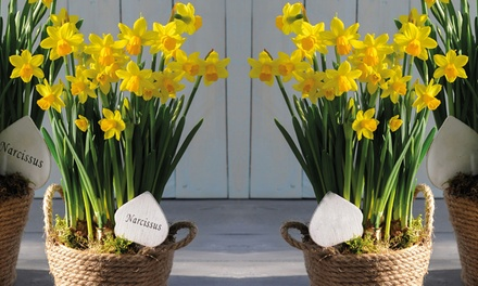 Scented Narcissus Flower Basket or Willow Basket with Garden Tools