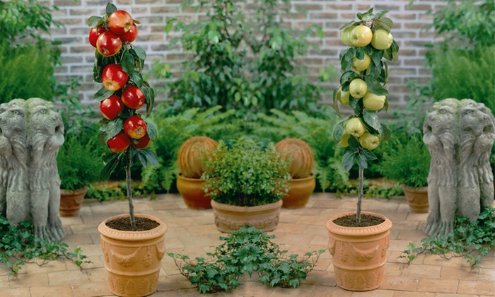 Delightful Van Meuwen: Mini Patio Fruit Trees Orchard And Citrus Collections From  £19.99 With Free