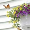 Butterfly Hanging Basket Kit