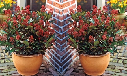 One, Two or Three Skimmia Japonica Rubella Shrubs