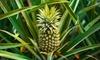 Edible Indoor Pineapple Plant