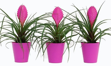 Three ExoticLooking Bromelia Plants for £19.99 With Free Delivery