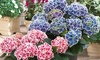 Set di 3 o 6 piante di Ortensia bicolore