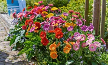 Three or Nine Hardy Gerbera Plants