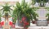 Aeschynanthus hangplant 'Twister'