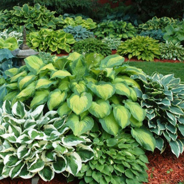 Fragrant Upright Hosta Bare Roots 5 8 Or 15 Pack Groupon