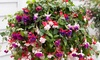 Lot de 6 plantes Fuchsia hangend