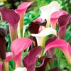 Majestic Colorful Calla Lilies Bulbs