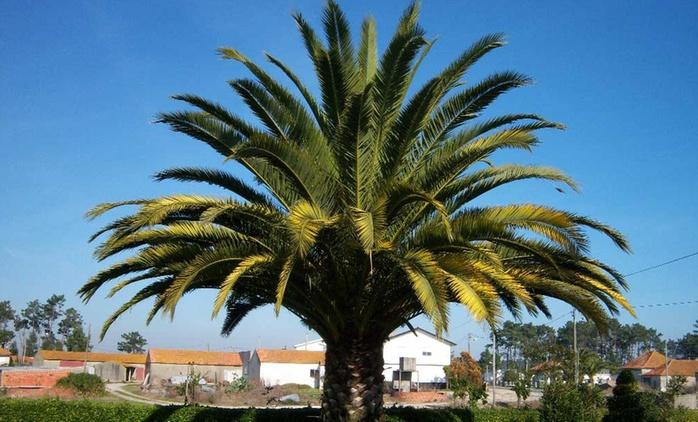 Set de 4 mini palmiers, 2 de patio et 2 de jardin, à 34,99 € (61% de réduction)