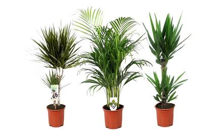 Set 3 piante XL da interno