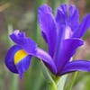 Dutch Iris Blue Telstar Bulbs (15-Piece)