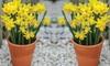 25 Daffodil Tete-a-Tete Bulbs