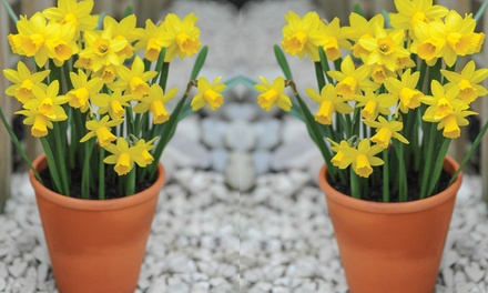 25, 50 or 100 Daffodil TeteaTete Bulbs