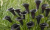 Pre-Order: Pollen-Free Calla Queen of The Night Flower Bulbs (5-Pack)
