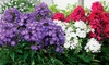 Butterfly Border Phlox Bare Root Collection (3-Pack): Butterfly Border Phlox Bare Root Collection (3-Pack)
