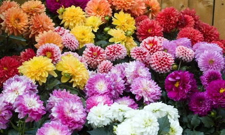 Four or Eight Dahlia Plants Collection