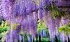 Set di piante Wisteria Sinensis
