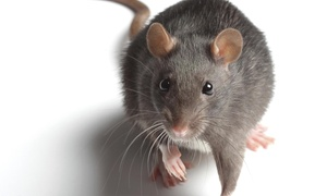 Quality Pro Guard: Rodent-Inspection Service from Quality Pro Guard (44% Off)