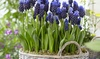 Latifolum or Delft Grape Hyacinths (25- or 50-Pack): Latifolum or Delft Grape Hyacinths (25- or 50-Pack)