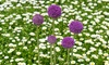 New Product Solutions: Purple Sensation Allium Flower Bulb (15-, 25-, or 50-Pack)