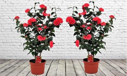 Set de 2 rosales japoneses XXL