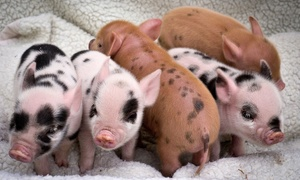 Kew Little Pigs: 90-Minute Miniature Pig Pet-and-Play Experience for One or Family of Four at Kew Little Pigs (Up to 57% Off)