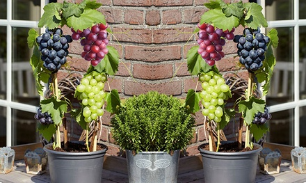 1 of 2 sets van 3 druivenplanten in drie verschillende kleuren