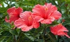 Pre-Order: Hibiscus Syriacus Rubra - Lucy Red - 1 Bare Root