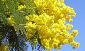 2, 4 ou 6 plantes Mimosa 30-40 cm