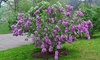 Sunday Lilac Bare-Root Potted Plant: Sunday Lilac Bare-Root Potted Plant