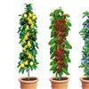 4 Pflanzen Säulenobst 50-60 cm