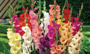 Pre-Order: Large Flowering Mixed Gladiolus Bulbs (25- or 50-Pack)