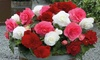 Begonia 'Non-Stop Berries & Cream' - 5, 10 or 20 plants