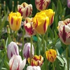 Tulip Rembrandt Artist Mix Bulbs (10-, 25- or 50- Pack)