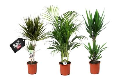 Conjunto de palmeras de interior