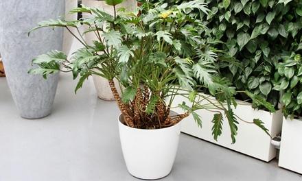 Pianta Philodendron Xanadu