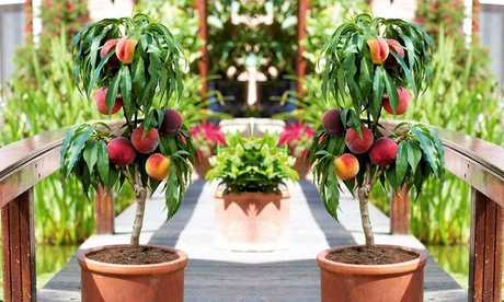 1 o 2 árboles frutales de melocotón enano Prunus persica Bonanza